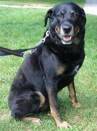 Rottweiler-Mischling Comar sucht hundeerfahrene Menschen