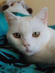 Weißer Kater hofft auf schnelle Adoption.