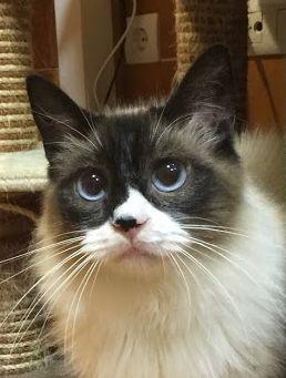 bildhübsches Katzenmädchen träumt von einer eigenen Familie. Wer verliebt sich in diese blauen Augen?