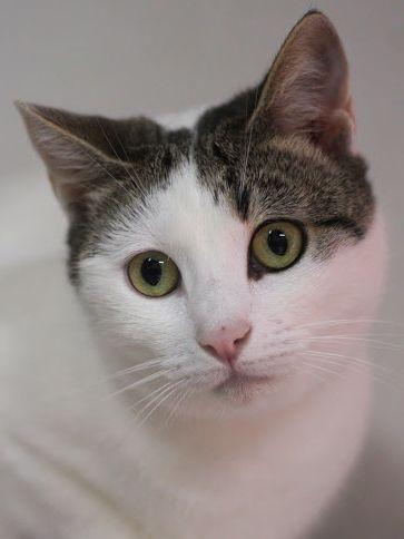bezauberndes Katzenmädchen hat nach 1,5 Jahren Tierheim noch immer die Hoffnung auf eine liebe Familie. Geben Sie ihr eine Chance!