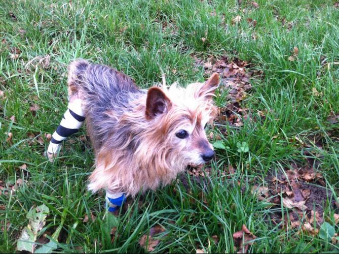 Der winzige 17jährige Yorkshire-Terrier-Rüde Fermin hat schon einiges in seinem Hundeleben mitgemacht. Als er in Spanien von Tierschützern aufgegriffen wurde, irrte er mit kaputtem Unterkiefer durch die Straßen Barcelonas.