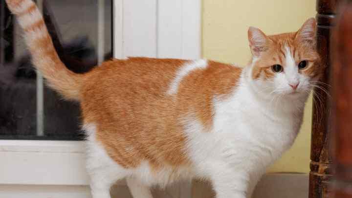 Markieren ist ein katzentypisches Kommunikationsmittel zur Reviermarkierung und zum Austausch von verschiedenen Informationen. Wenn die Katze in der Wohnung ihr Revier durch Markieren und nicht durch Kratzen oder Reiben des Kopfes markiert, ist dies meist